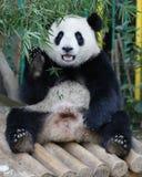 Панда в зоопарке соотечественника Малайзии Стоковое фото RF