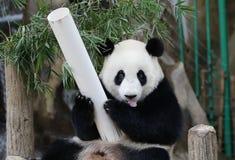 Панда в зоопарке соотечественника Малайзии Стоковая Фотография