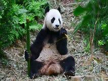 Панда ест еду видеоматериал