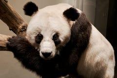 Панда - экспонат Стоковое Изображение