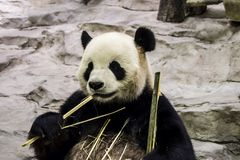 Панда Стоковые Изображения RF