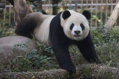 Панда Kung Fu Стоковые Изображения RF