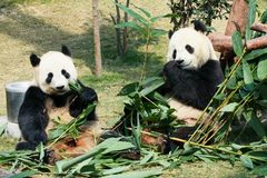 2 панды есть бамбук Стоковое фото RF