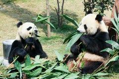 2 панды есть бамбук Стоковые Фото