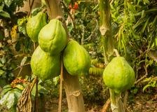 Папапайи зрея на дереве стоковые фото