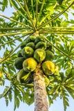 Папапайи на дереве папапайи стоковые изображения