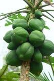 Папапайи на дереве Стоковое фото RF