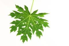 папапайя листьев Стоковые Изображения RF