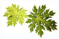 папапайя листьев Стоковые Фото