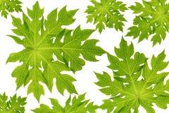 папапайя листьев Стоковая Фотография