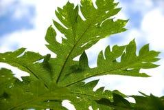 папапайя листьев Стоковое фото RF
