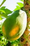 Папапайя на дереве Стоковая Фотография