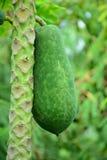 папапайя свежих фруктов стоковые изображения rf
