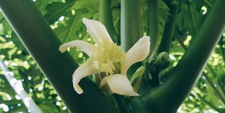 Папапайя ‹of†‹Flower†стоковое изображение