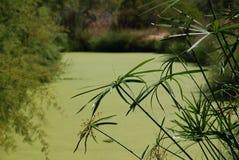 Папирус/речной берег Стоковое фото RF