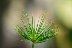 Папирус цветет красивое и странное Стоковое фото RF