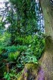 Папоротники в лесе кедра покрытом с мхом Стоковое Фото