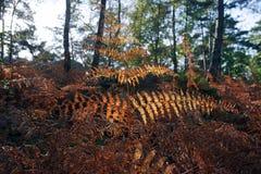 Папоротники в подлеске леса Фонтенбло Стоковое Изображение