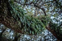 Папоротники растя на ветви дерева Стоковая Фотография