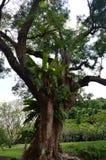 Папоротники растя на деревьях на садах Сингапура ботанических стоковое изображение