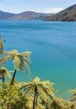 Папоротники серебряного дерева растя на побережье в Новой Зеландии Стоковое Фото