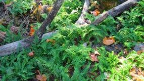 Папоротники шпаги & упаденное дерево Стоковое Фото