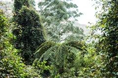 Папоротник вала в дождевом лесе Австралии Стоковые Изображения
