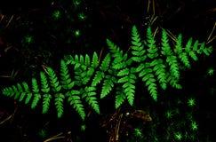Папоротник выходит взгляд сверху Волшебство, fairy лес стоковые изображения rf