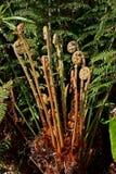 Папоротник дерева в австралийском тропическом лесе Стоковые Изображения