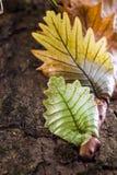 Папоротник лист дуба Стоковое Фото