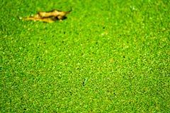 папоротник москита имеет зеленые и желтые листья цвета и падения на поверхности воды стоковое изображение