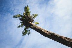 Папоротник на верхней части сухого дерева в восточном тропическом лесе Борнео, ест Kalimantan Индонезию Стоковое Изображение
