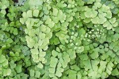 Папоротник сада (Asplenium Onopteris) Стоковая Фотография RF