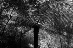 Папоротник серебряного дерева Стоковое фото RF