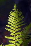 папоротник темноты предпосылки Стоковая Фотография RF