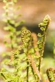 Папоротник, affinis Dryoptera, Cristata король Стоковое Изображение RF