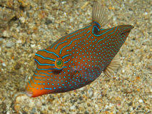 Папуасский toby Стоковая Фотография RF