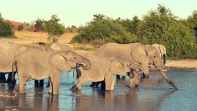 Парад или табун слонов увиденный выпивать от естественного водопоя сток-видео