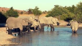 Парад или табун слонов увиденный выпивать от естественного водопоя акции видеоматериалы