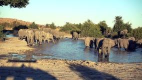 Парад или табун слонов увиденный выпивать от естественного водопоя видеоматериал