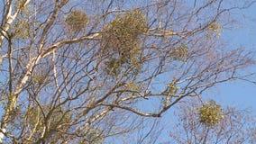 Паразитные круглые заводы растут на ветвях дерева березы акции видеоматериалы