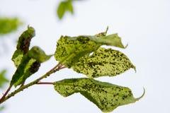 Паразиты насекомых тлей на листьях дерева в лете Стоковые Изображения RF