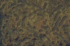 Паразиты рода этап Schizont паразит protozoan, один из вида  Стоковая Фотография