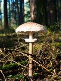 парасоль гриба Стоковая Фотография RF