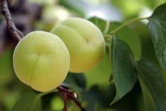 Пара абрикосов растя на дереве абрикоса стоковые фото