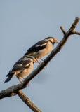 Пара азиатской пестрой птицы starling Стоковое фото RF
