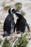 Пара африканских пингвинов в влюбленности заботя для одина другого на пляже i Стоковая Фотография
