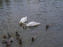 Пара белого подныривания лебедя возглавляет в пруд с уткой a od группы Стоковое фото RF
