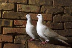 Пара белых голубей сидит на руинах кирпича Стоковое Изображение