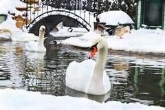 Пара белых лебедей с красивыми пер плавает в пруде i Стоковые Изображения